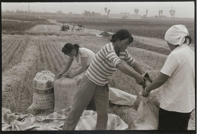 Wheat Harvest,  Ping Yao District